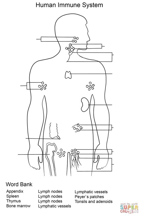 Lymphatic System Worksheet by Immune System Worksheet Coloring Page Free Printable