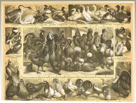 10 inch framed matted geese poultry lithograph from 1898 collect at curioshop