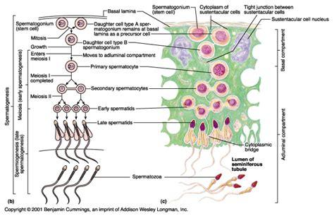 seminiferous tubules diagram image gallery spermatogenesis