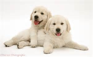 Dogs golden retriever pups photo wp30276