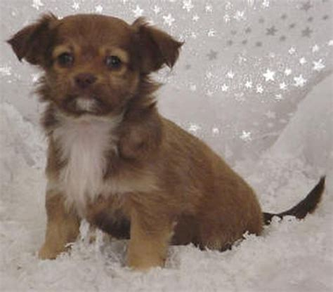 haired chihuahua puppy purebred pups sold pups photo 17