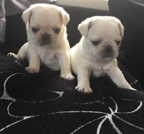 free pug to home outstanding pug puppies free to home used ads pets animals