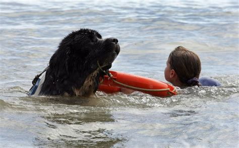 water rescue dogs bristol channel water rescue whizz gets animal obe for saving 9