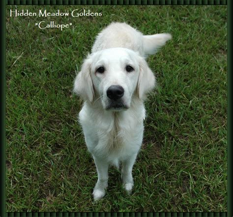 white golden retriever puppies sale golden retrievers rachael edwards