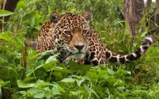 Jaguar Tropical Rainforest Tropical Rainforest Animals Jaguar Jaguar Wallpapers