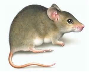 mouse images lori anzalone nature illustration print consumer