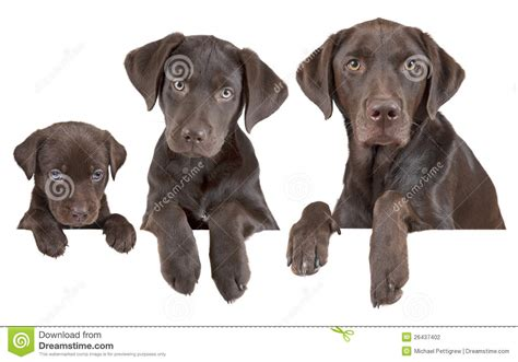 puppy stages growing stages stock photography image 26437402