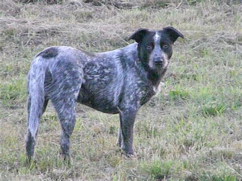 australian shepherd blue heeler mix puppies for sale blue heeler mix puppy breeds picture