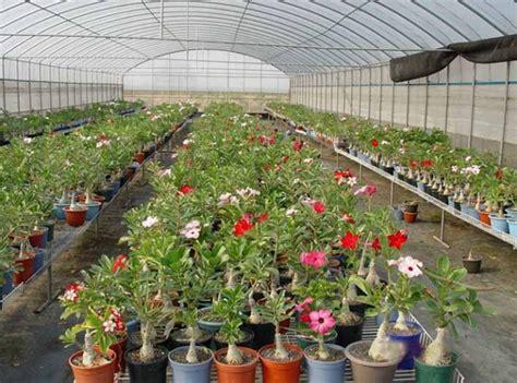 Tempat Jual Bibit Bunga Kamboja cara menanam bunga kamboja jepang adenium bibitbunga