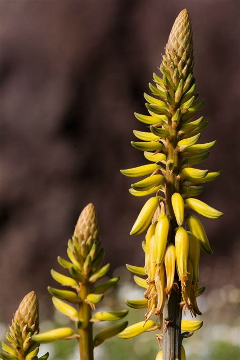 aloe vera plants  countless medical benefits