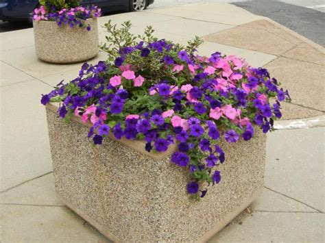 pink and purple petunias in a large planter photos on