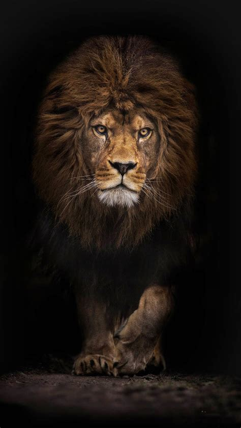 lion wallpaper  iphone  pro max