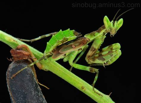 juvenile jeweled flower mantis creobroter gemmatus