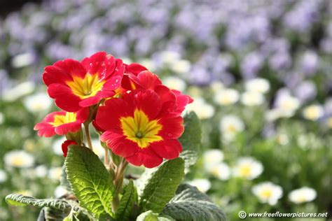 flower pictures red primula flower picture flower pictures 5552