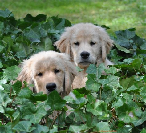 golden retriever oregon shyan goldens golden retriever breeder oregon golden retriever puppies