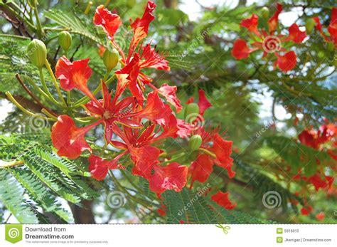 flowering tropical shrubs tropical flowering tree stock photo image 5916910