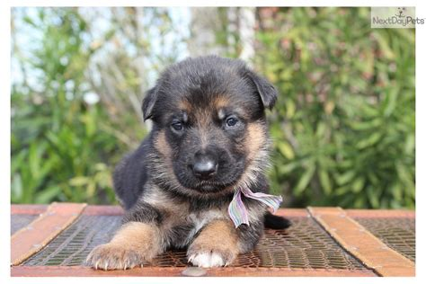 german shepherd puppies for sale houston coat german shepherd puppies for sale in houston breeds picture