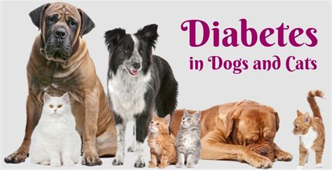 diabetes in dogs feline soiling diabetes