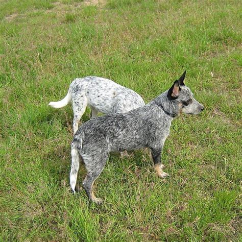 blue heeler pattern 1000 images about cattle dogs heelers on pinterest blue