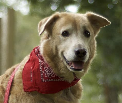 golden retriever rescue massachusetts biscuit macoy 3241 golden retriever rescue of mid florida