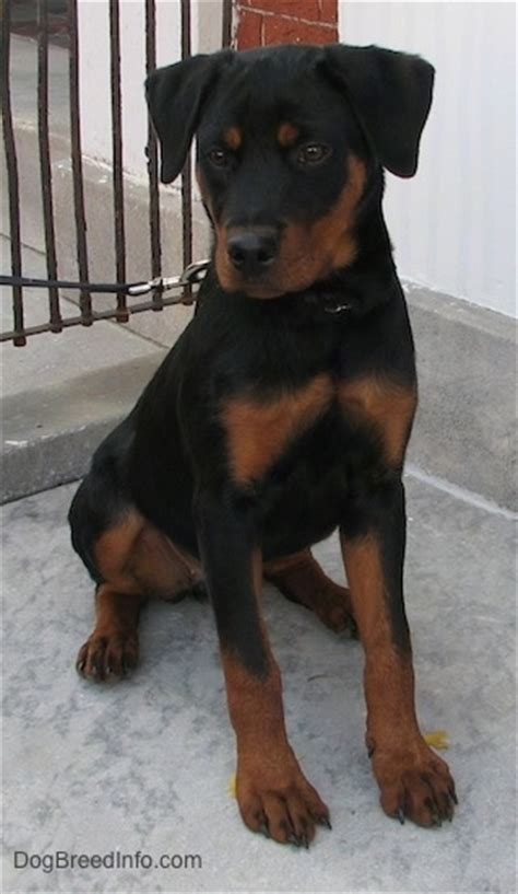 rottweiler 5 months rottweiler breed information and pictures