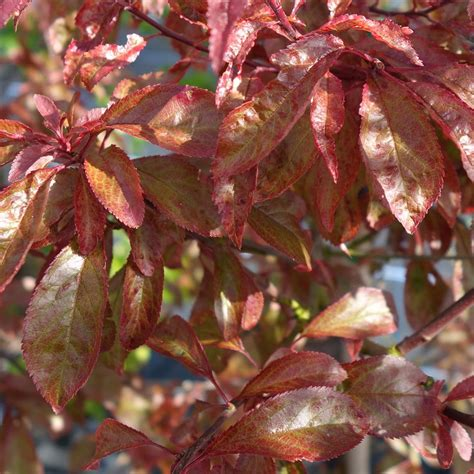 can you eat ornamental plums 100 images plum tree bugs learn about plum tree insect problems