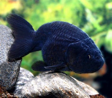Oranda Rw Black Ranchu fancy goldfish for sale aquariumfish net
