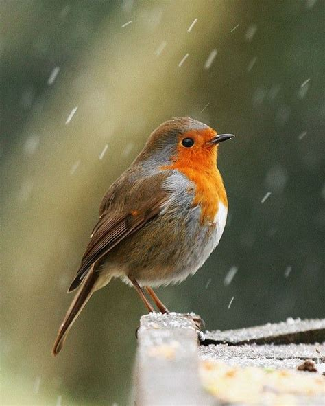 best 25 red robin bird ideas on pinterest robin