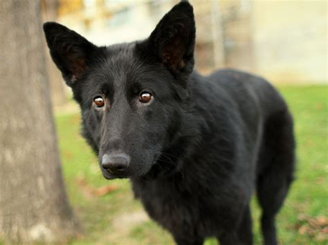 5 11 Black Wolf Brown noir black german shepherd mix