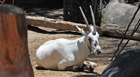 oryx pray  qatar