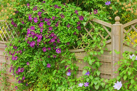 up and out vining perennials for your colorado garden