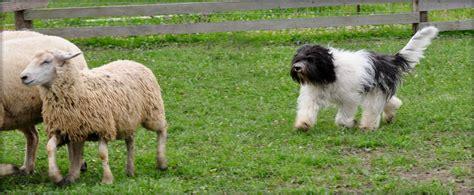 how to a herding herding schapendoes club of canada