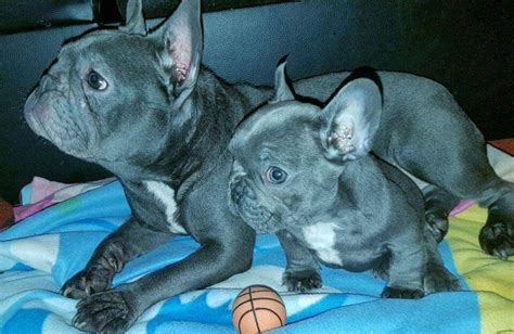 special needs puppies for sale solid blue bulldog boy with special needs bedford bedfordshire pets4homes