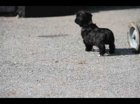 morkie poo puppies for sale morkie poo puppies for sale