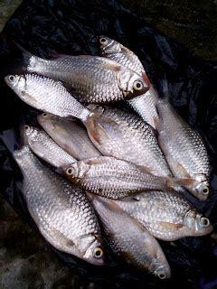 Pancing Wader kangen banget mancing ikan wader akhirnya kesaian juga gudang informasi penting