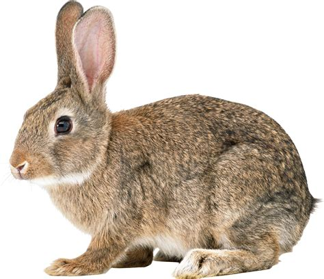 le hase rabbit png images free png rabbit pictures