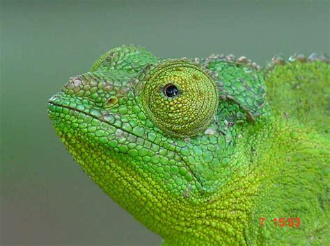Chameleon Headl baby jackson chameleon