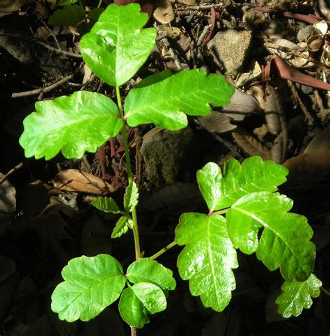 poison oak images relief for poison oak root simple