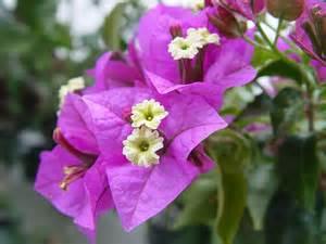 flowers and plants plants amp flowers 187 bougainvillea glabra
