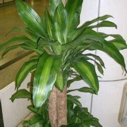 question forum corn plant dracaena regrowing