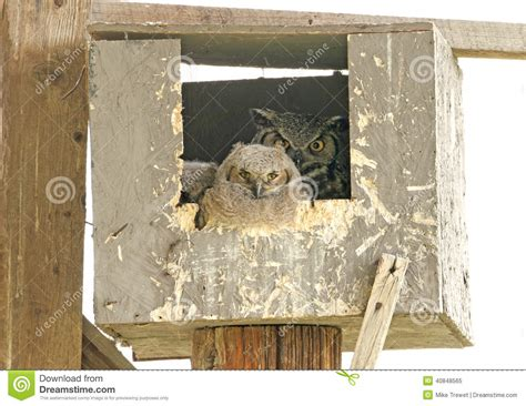 great horned owl family in nesting box stock image