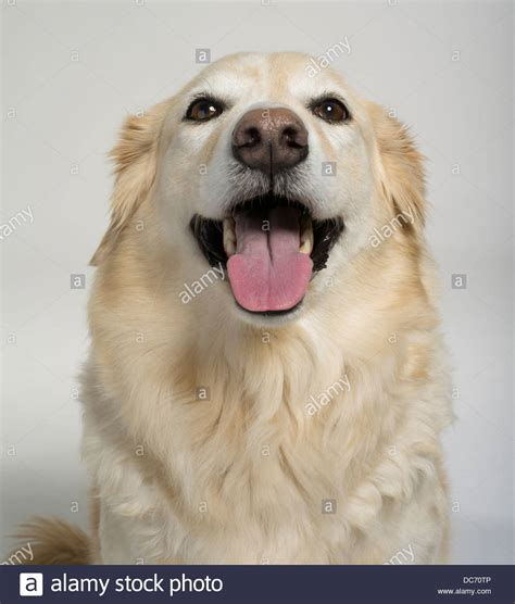 golden retriever and collie mix golden retriever collie mix uk dogs in our photo
