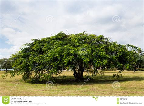 wide flamboyant tree stock photo image 50704672