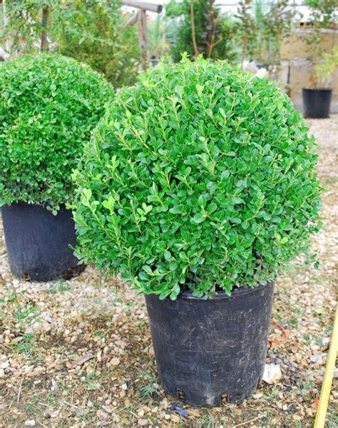 pianta bosso in vaso piante ornamentali bosso a palla