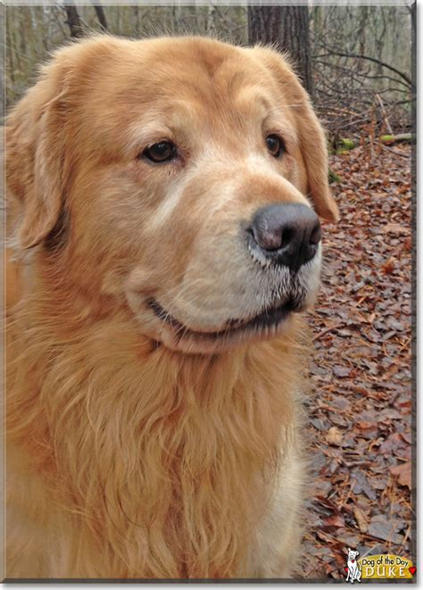 duke golden retriever duke golden retriever december 29 2016