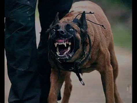 best attack dogs malinois attack 3 best dogs attacks amazing