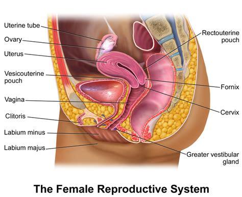 file blausen 0400 femalereprosystem 02 png wikimedia commons