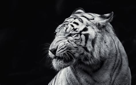 black and white tiger wallpaper white tiger wallpapers images photos pictures backgrounds