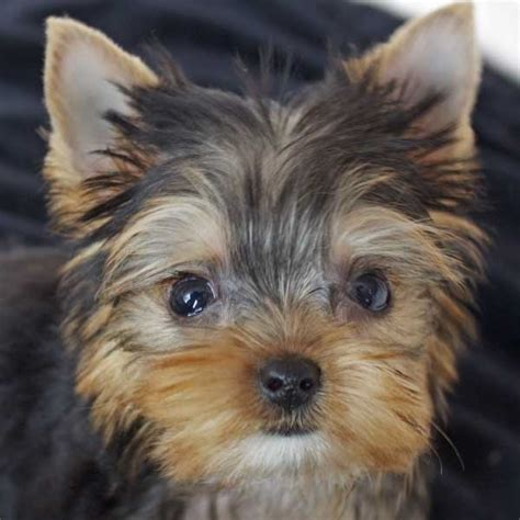 yorkie poo puppies for sale in tn yorkie poo puppies for sale at heavenly puppies breeds picture