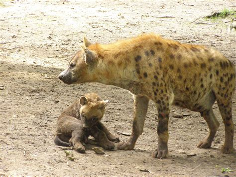 images of hyenas hyena pictures images photos